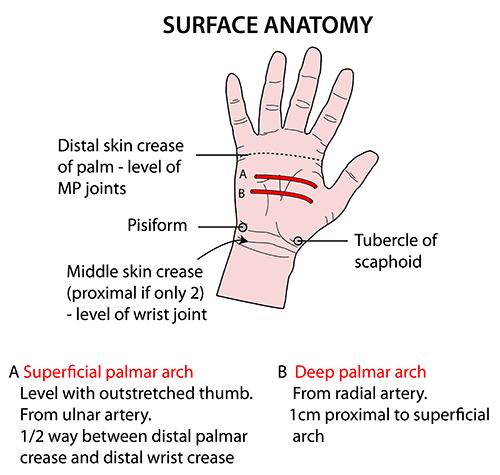 Surface anatomy upper limb