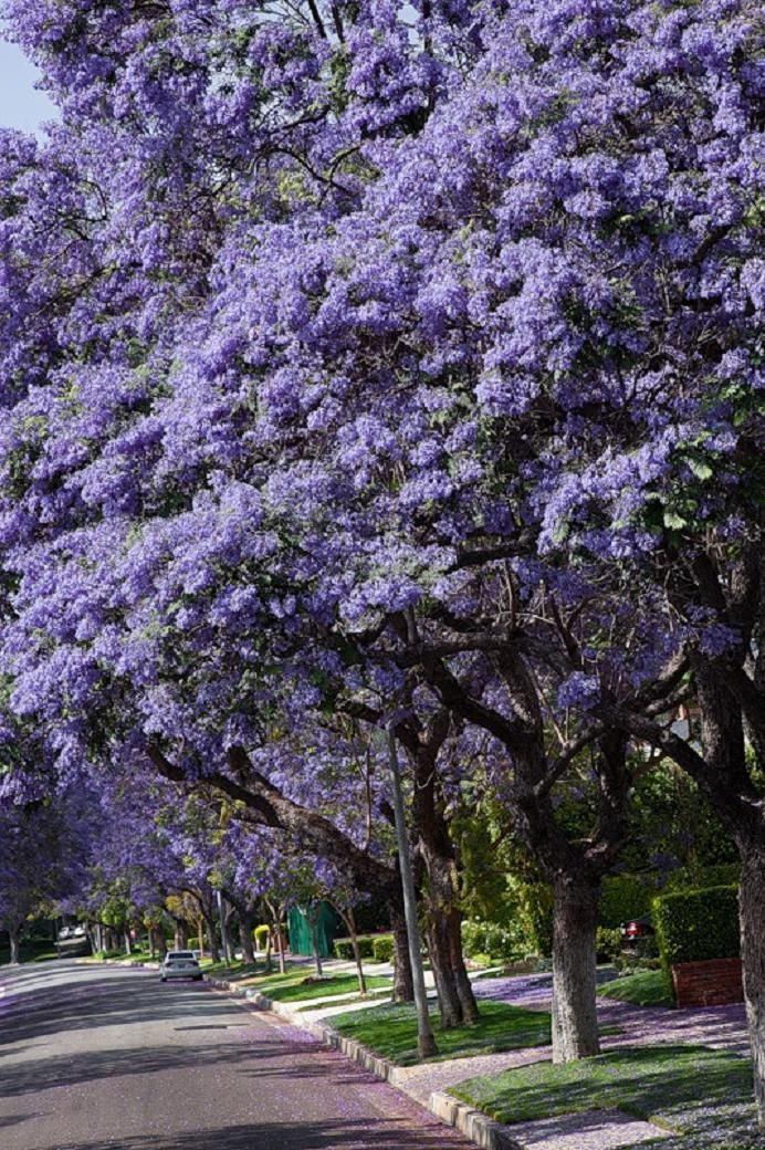 Jacaranda trees..... - Pixdaus | Jacaranda tree, Tree ...