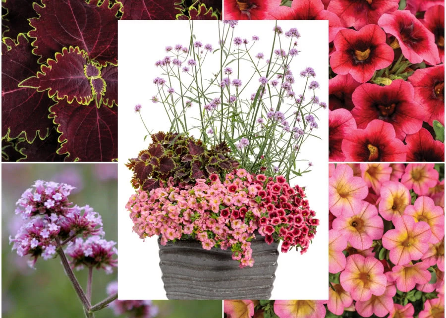 Kompozycja Z Werbena Patagonska I Koleusem Zielony Ogrodek Plants Flora