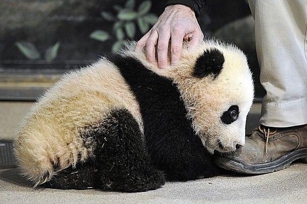 Zoo extends weekend hours for panda cub Bao Bao's long-awaited public debut - The Washington Post