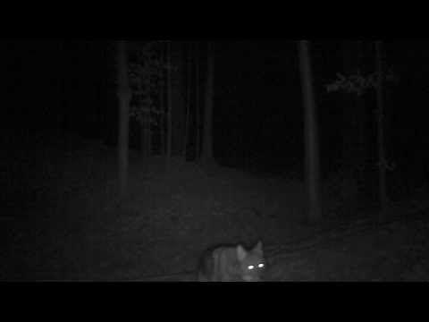 Loup ou coyaote ?