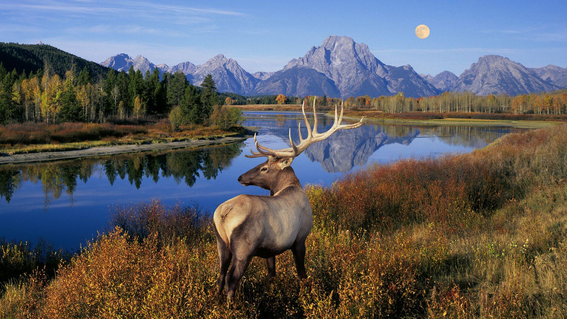 College of deer elk bear wildlife wallpaper wildlife animal wallpapers 1920x1080 business - Elk hunting wallpaper ...