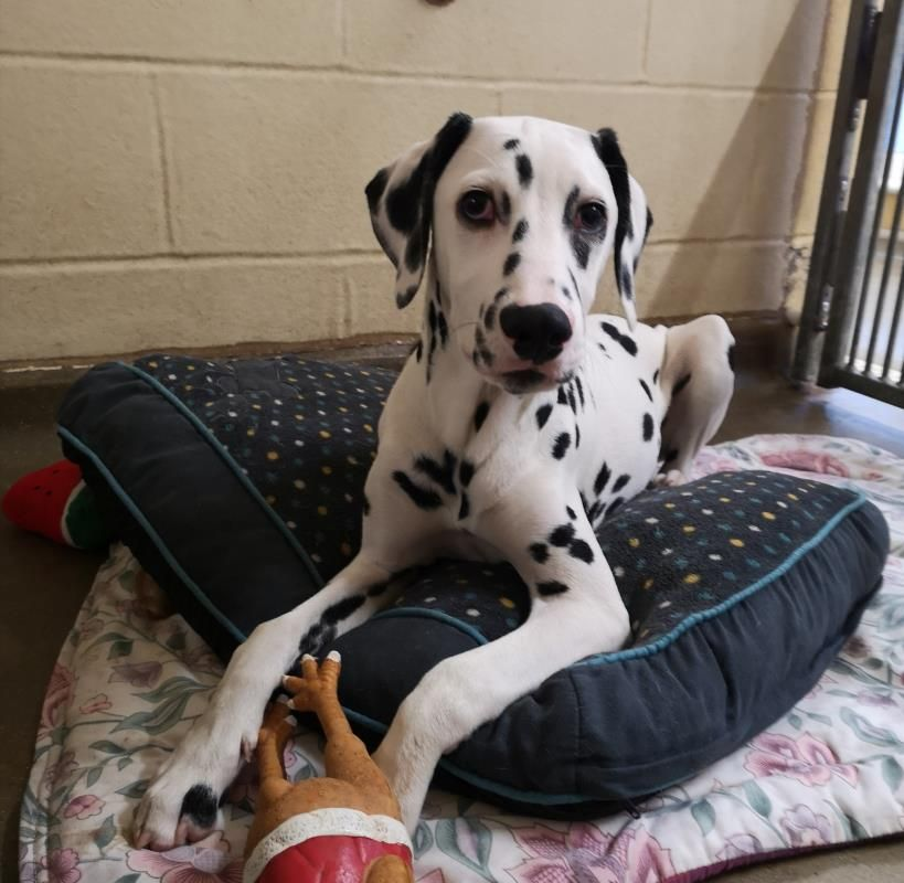Adopt A Dog Freckles Dalmatian Dogs Trust Dogs Dog