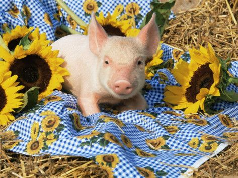 Mini Poster Pigs with a Sunflower