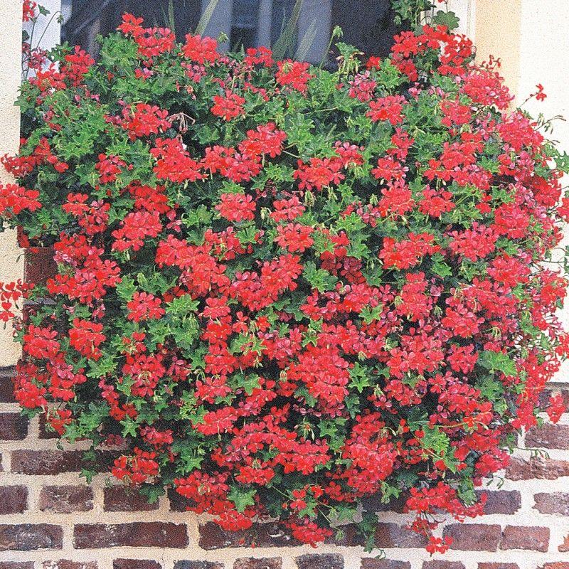 g ranium balcon rouge un grand classique retombant vigoureux tr s florif re il est. Black Bedroom Furniture Sets. Home Design Ideas