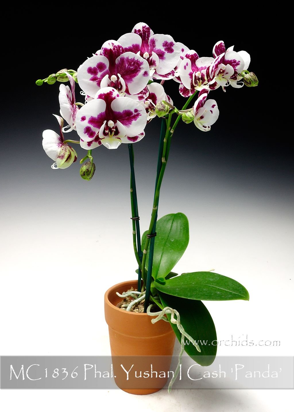Zz Plant Care