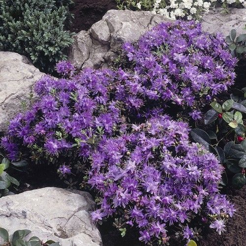 Buy Rhododendron impeditum - Best Value for Money
