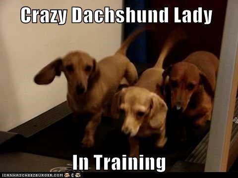Crazy Dachshund Lady In Training Dachshund Weenie Dogs