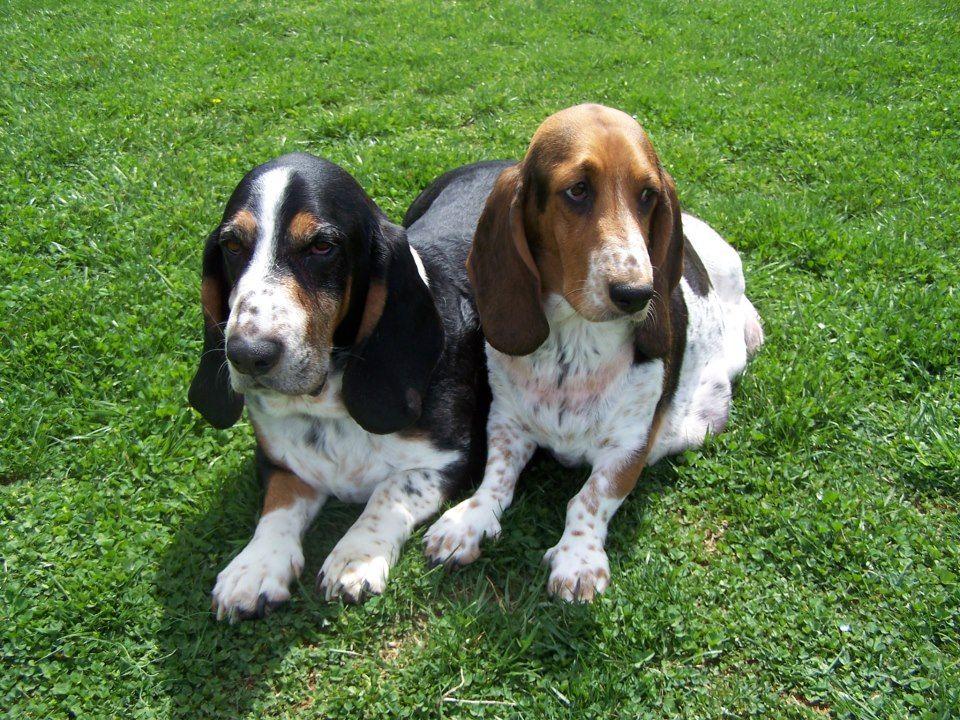 Otto And Izzi Bassett Hound Lap Dogs Dog Breeds