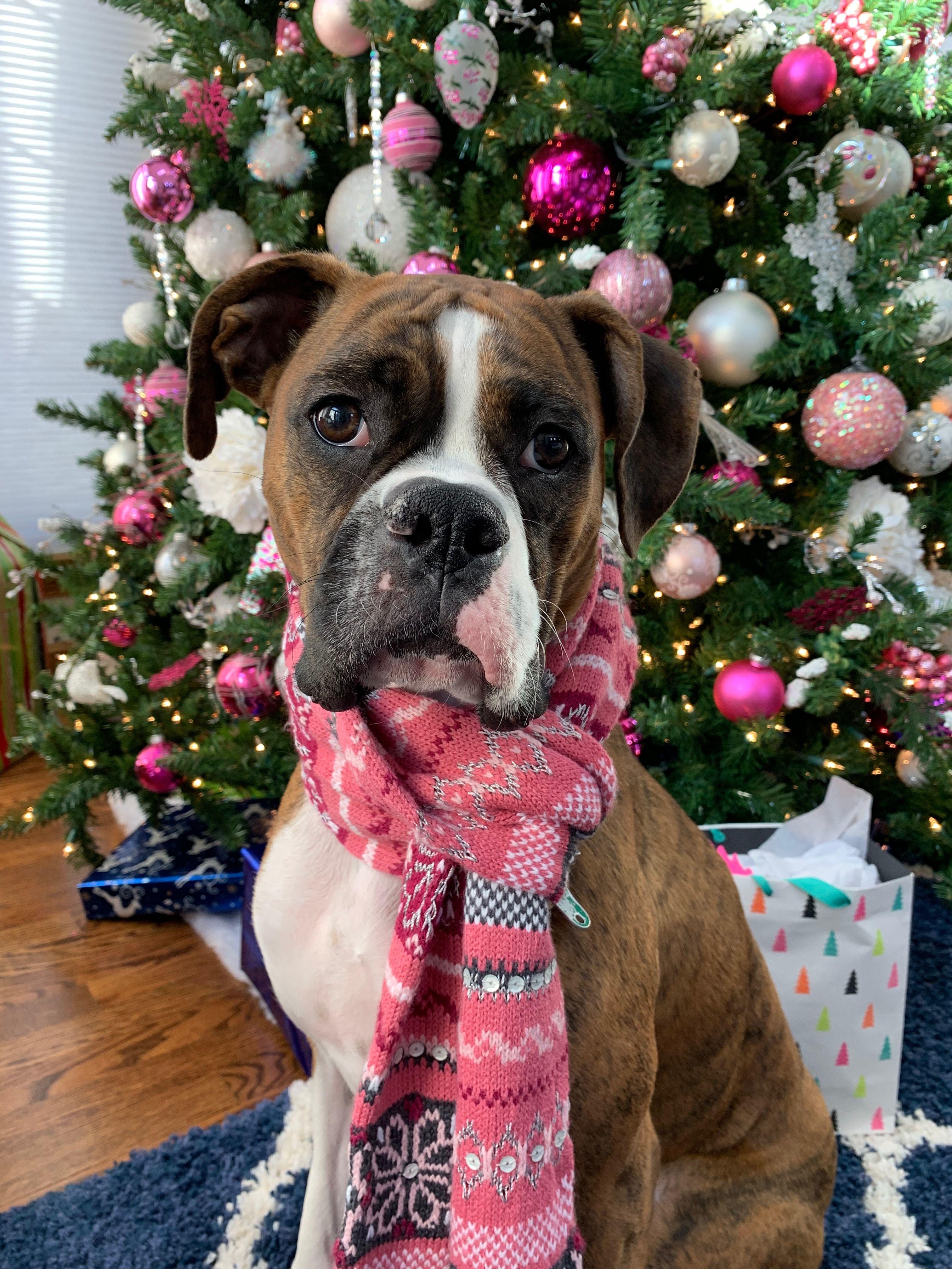 Looks Like My Bighead Boxer Love Christmas Puppy Christmas Animals