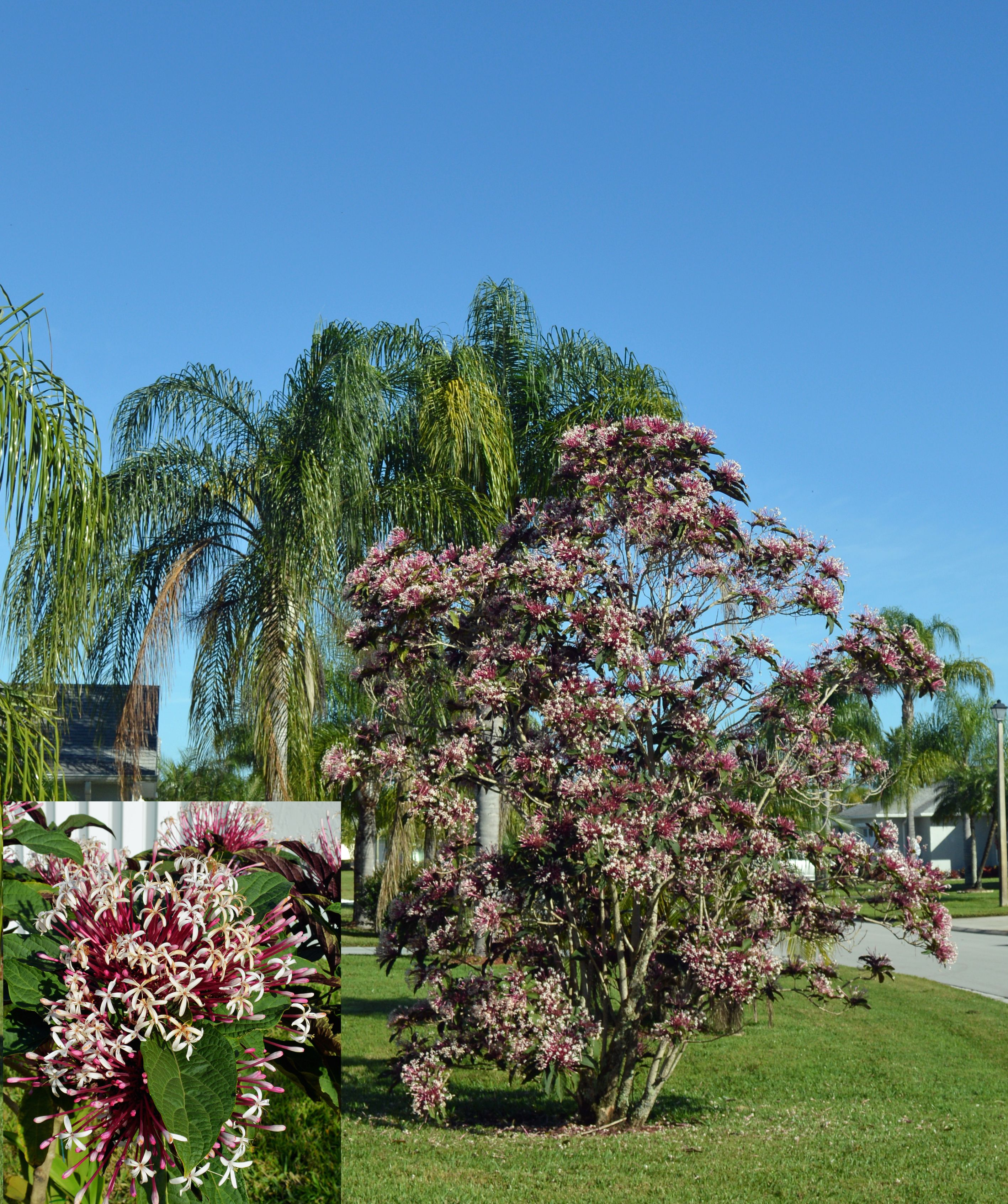 winter in south florida where trees turn into flowers the star