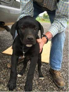 Adoptable Chicago Il 10 Week Old Black Labradorretriever Puppies Chicagoland Lab Rescue 4 Female Labrador Retriever Losing A Dog Black Labrador Retriever