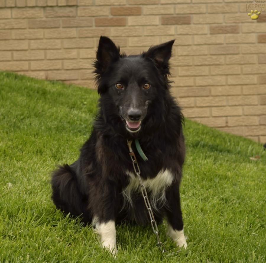 Rascal - Border Collie Puppy for Sale in Sugarcreek, OH | Buckeye