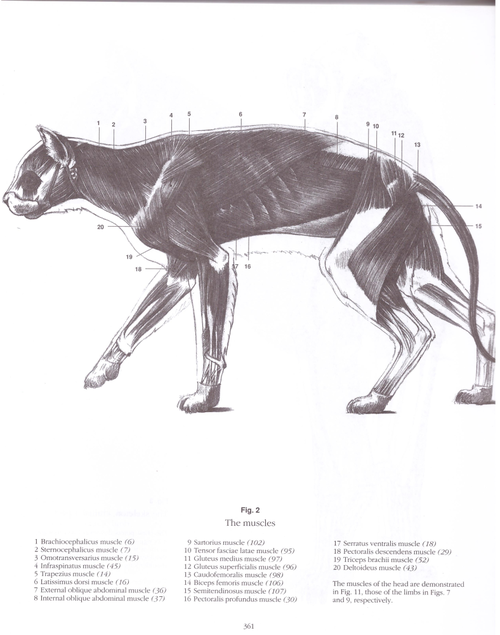 Big Cat Muscle Anatomy Google Search Reference Cat Anatomy