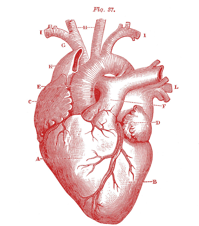 Royalty Free Images - Anatomical Heart - Vintage | Pinterest ...
