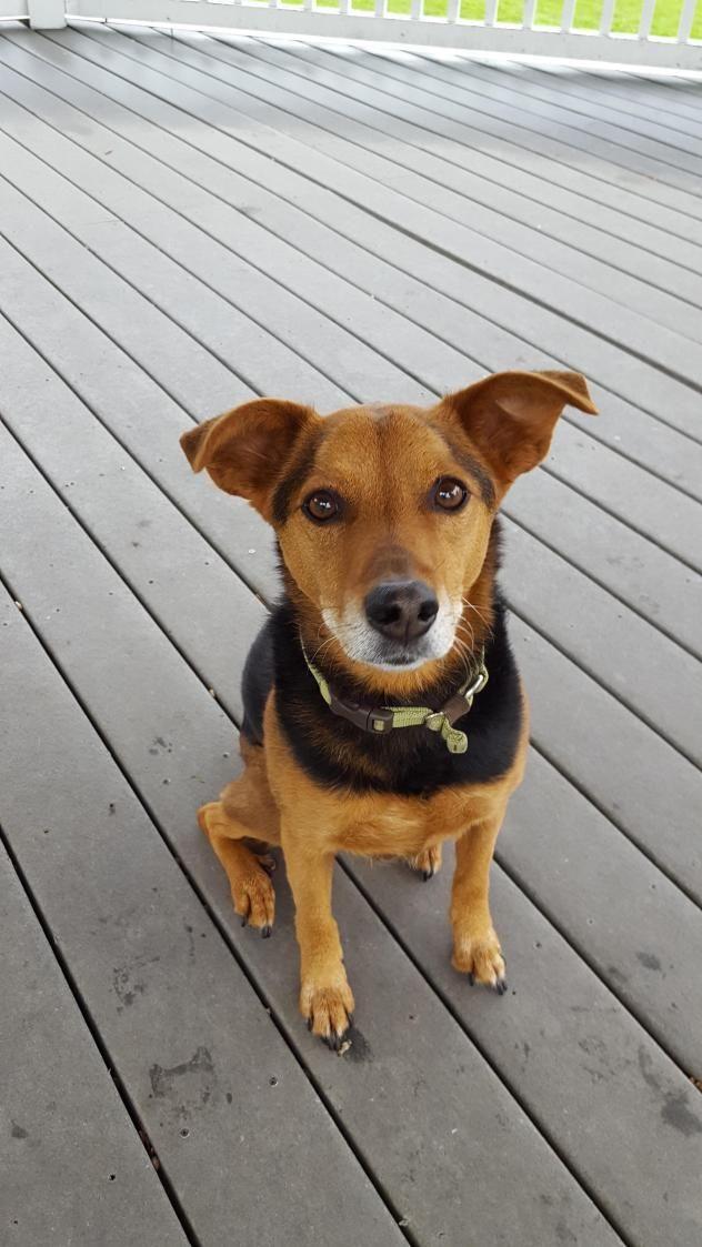Adopt Maddie On Terrier Labrador Retriever Mix Pets