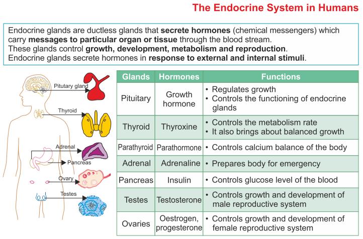 Endocrine glands: Glands that secrete chemical hormoes ...