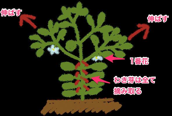 ピーマン パプリカの栽培方法 育て方のコツ やまむファーム 栽培