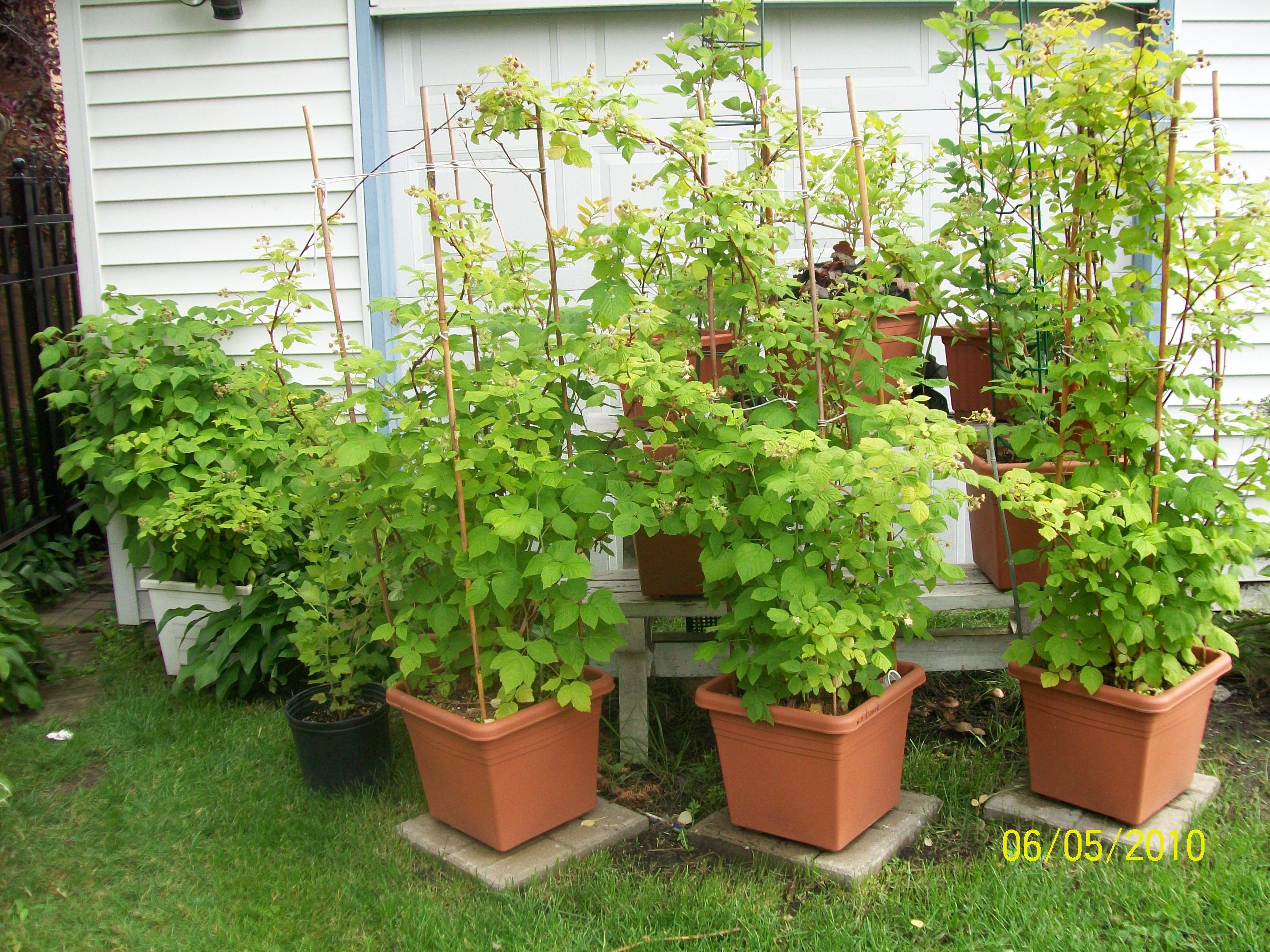 berries in pots | Raspberry plants, Plants, Container ...