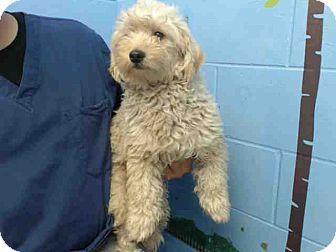 Standard Poodle Mix Puppy For Adoption In San Bernardino
