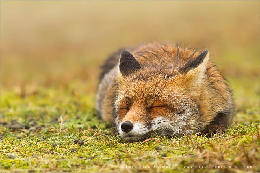 Comfortably Fox II Red Fox (Vulpes vulpes) sleeping on the moss © Roeselien Raimond