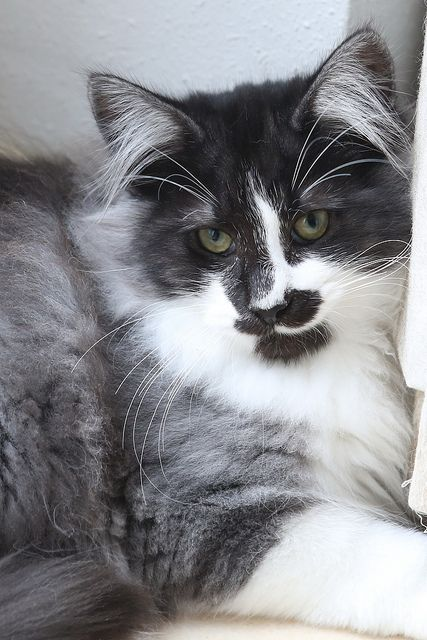 Titran S Going First Norwegian Forest Cat Cats Forest Cat