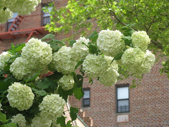 Гортензия древовидная. Питомник декоративных растений