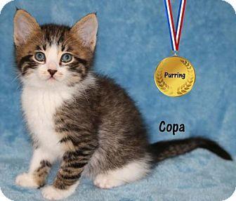 Ventura, CA - Domestic Shorthair. Meet Copa, a kitten for adoption…