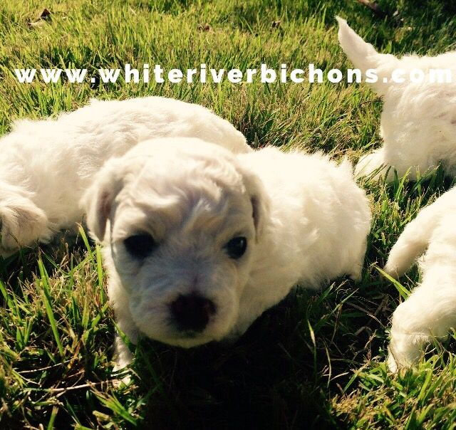 Bichon Frise Akc Puppy For Sale Www Whiteriverbichons Com Bichon Frise Puppy