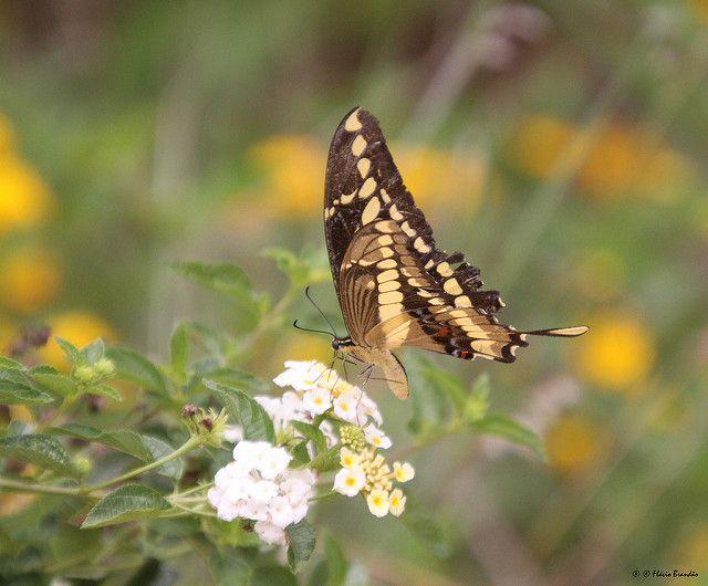 Série com a Toas Grande (Heraclides thoas brasiliensis ou Papilio thoas…