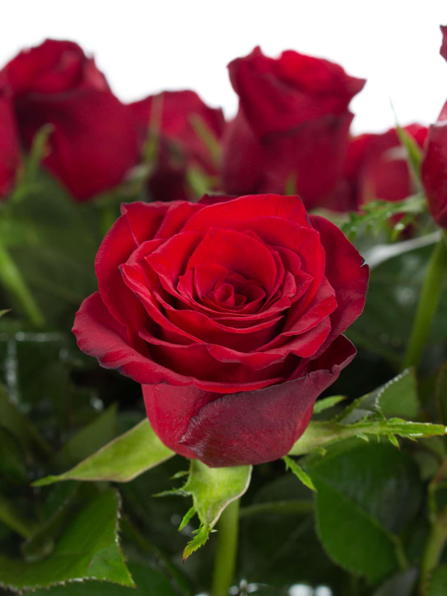 Rosen Upper Class rot  Hochzeit  Rot  Red flowers