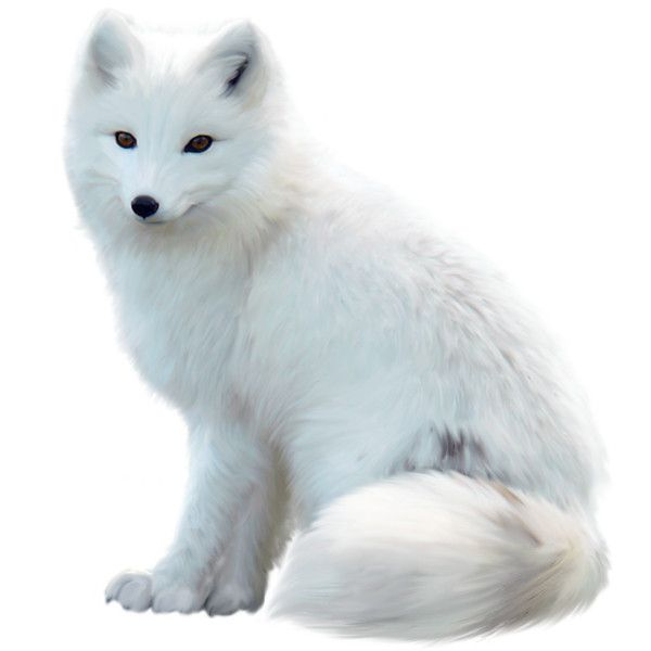 Pin By Summer Jenkins On My Polyvore Finds Arctic Fox Fox Coloring Page Fox