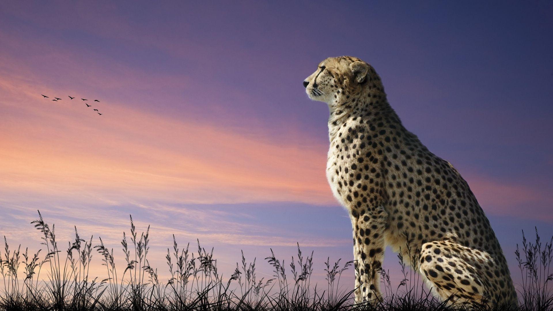 Full Hd Wallpaper Leopard Sunset Field Desktop Backgrounds Hd 1080p Cheetah Wallpaper Animal Wallpaper Animals