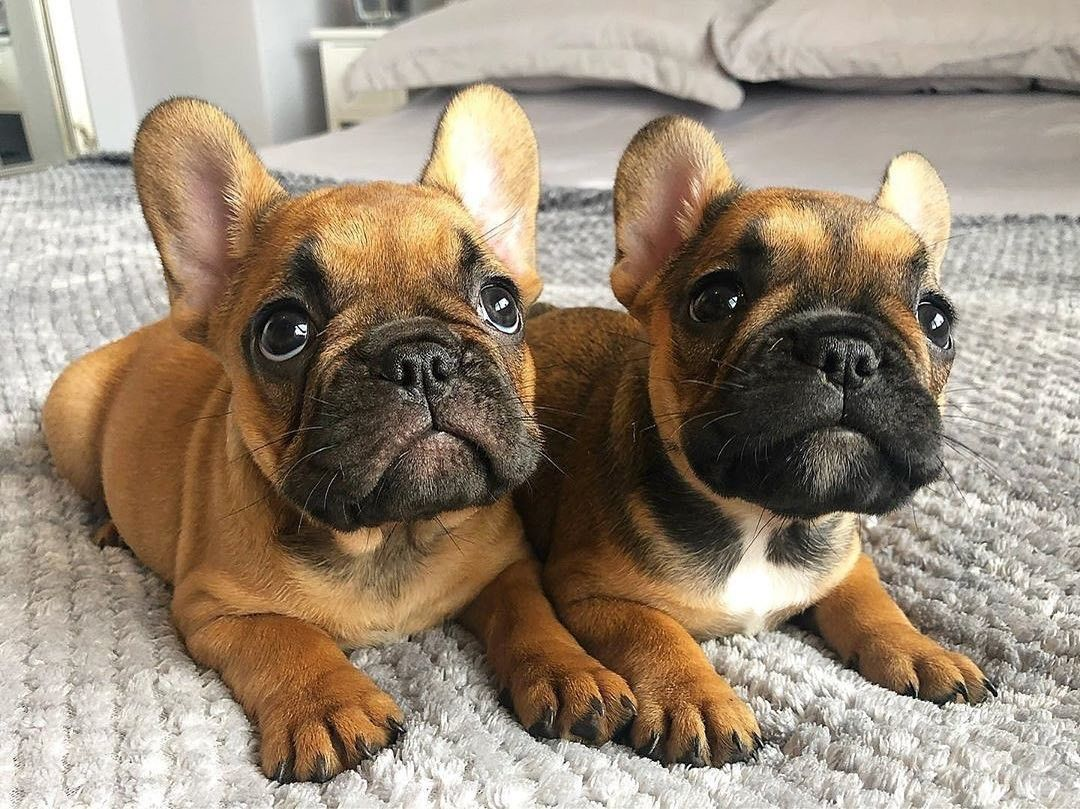 Pin By Thobeka Ngwenyama On Cuties Cute Dogs Puppies French
