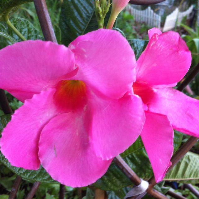 42812 Climbing Hibiscus Theyre Blooming In My Garden Garden