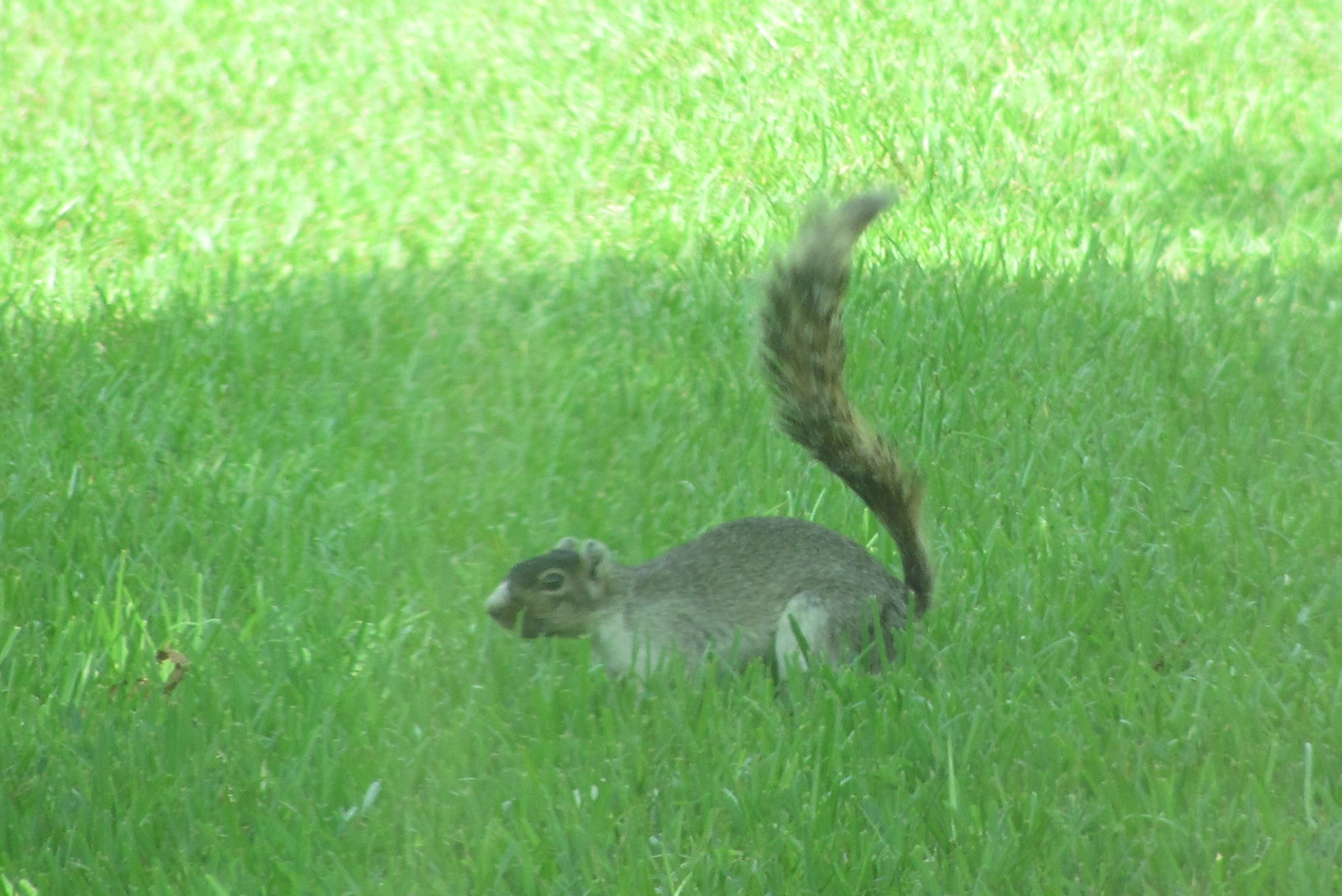 Our favorite fox squirrel that visits the hoss tools