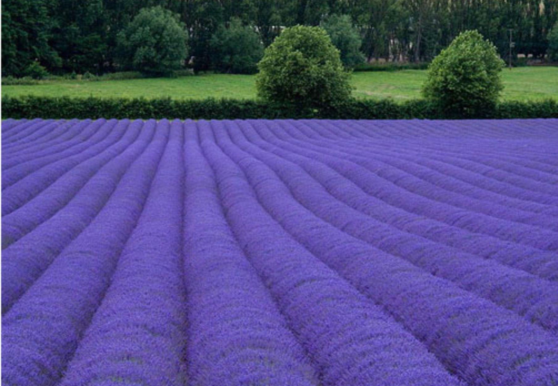 Lavender field in Shoreham, Kent, England (Photo: kentishmayde - Flickr)