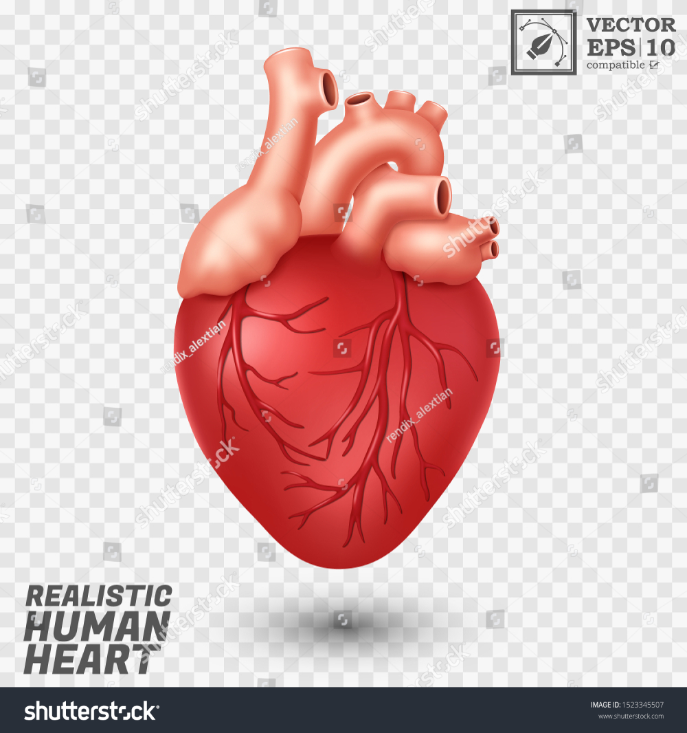 Realistic Human Heart Isolated Easy Edit Stock Vector Royalty Free 1523345507 Realistic Vector Royalty Free