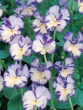 Viola Rebecca Bluestone Perennials Fragrant Flowers Pansies Flowers Perennials