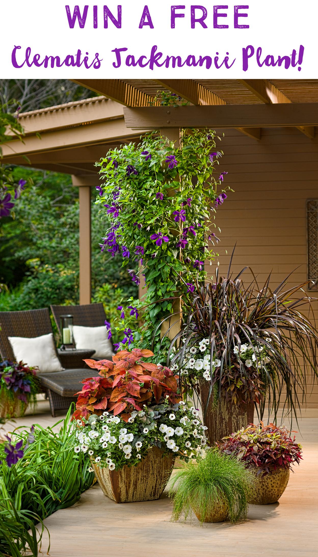 Clematis Jackmanii Giveaway Garden Inspirations Top Gardening