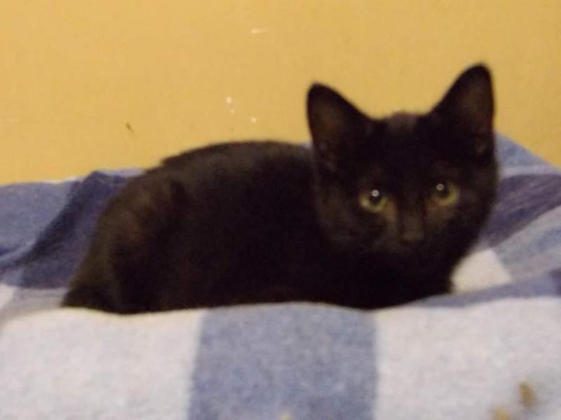 Meet Shay A Petfinder Adoptable Domestic Short Hair Black Cat