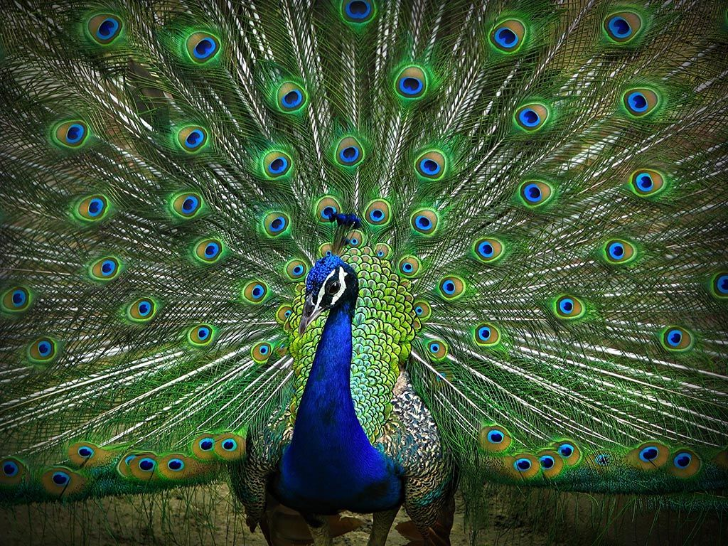Peacock Pictures Find best latest Peacock Pictures for your PC ...