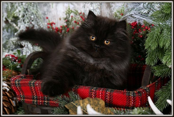 Silhouette Click Here Ultra Rare Persian Kittens For Sale