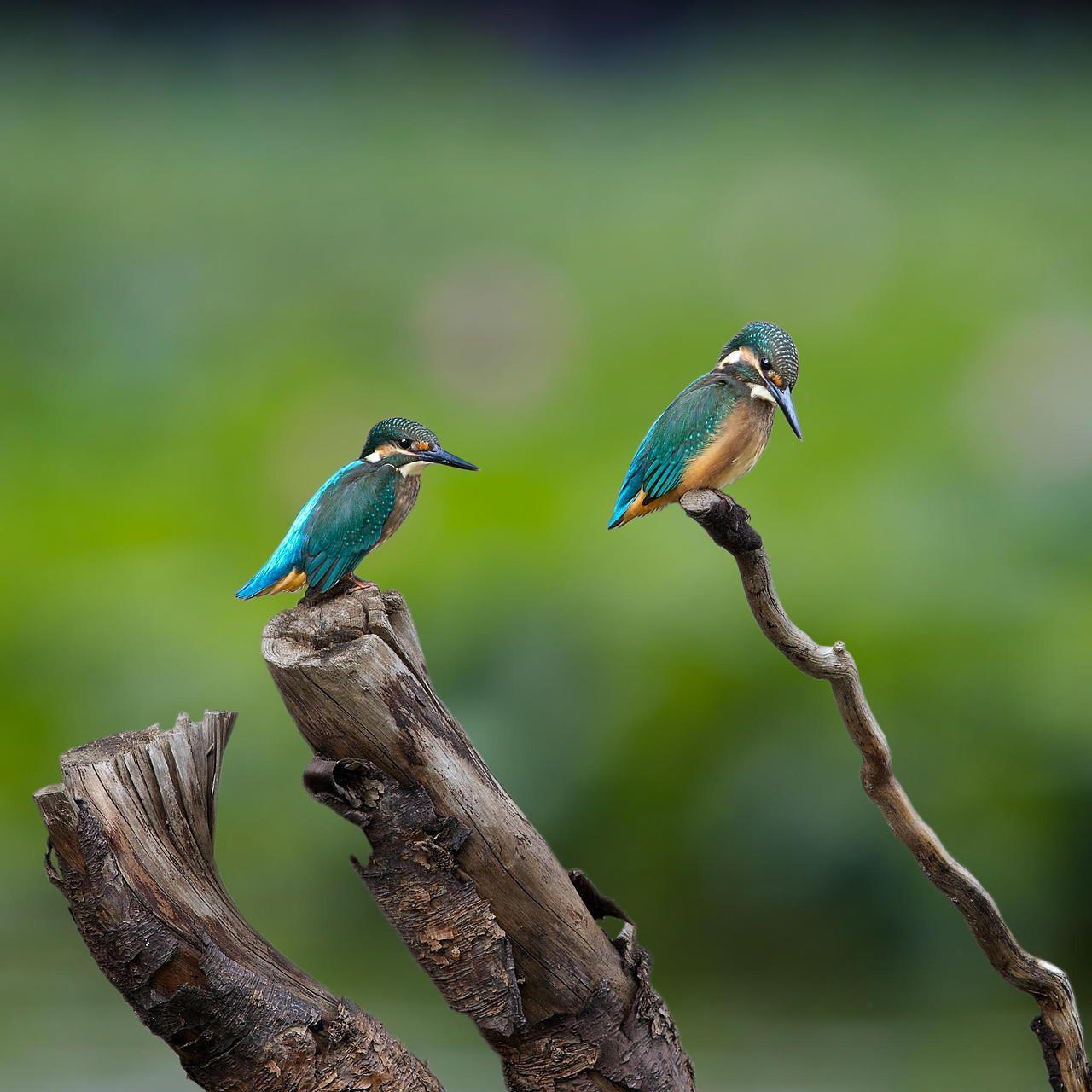 Baby Kingfishers