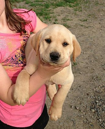 Yellow Lab Puppies Pet Dog Puppies For Sale In Ny Want Ad Digest