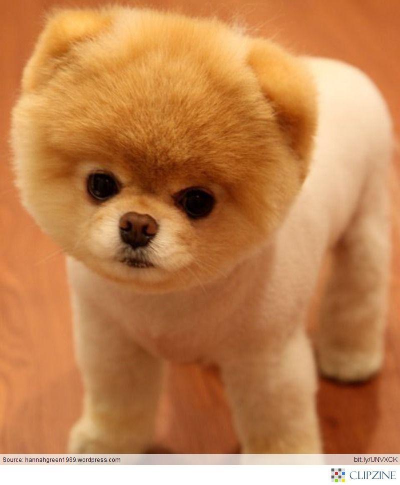 Download Pom Canine Adorable Dog - b3bedd1b9f80d13bcedbd768b3e6d1d0  Graphic_714013  .jpg