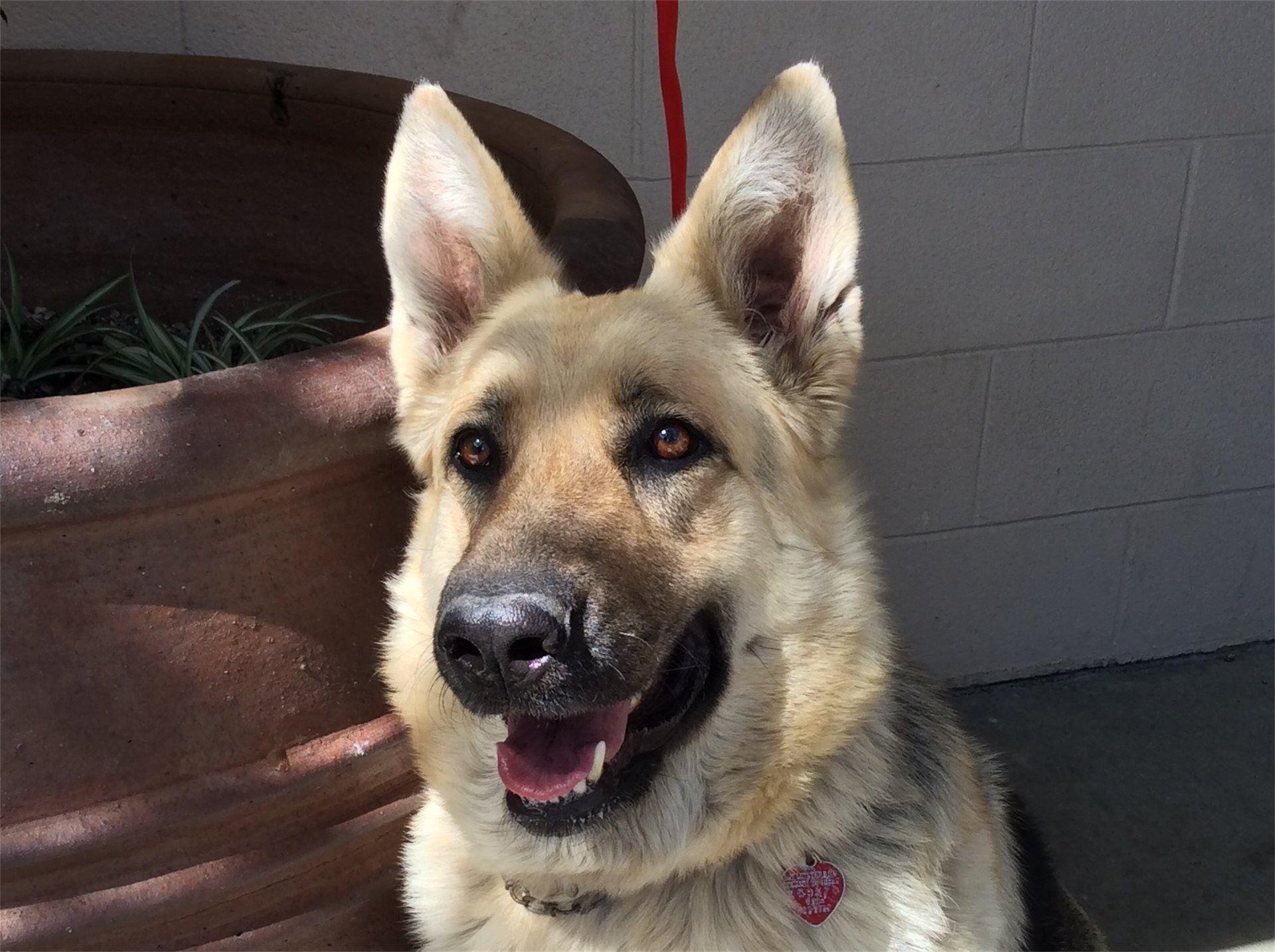 German Shepherd Dog dog for Adoption in pomona, CA. ADN