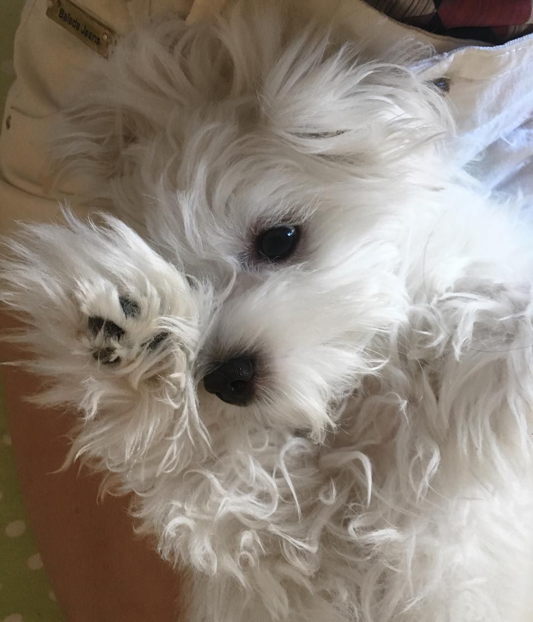 Maltese Puppy Adorable Ceramic Tile Zazzle Com Best Small