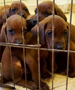 Redbone Coonhound Puppy For Sale In Colorado Springs Co Adn