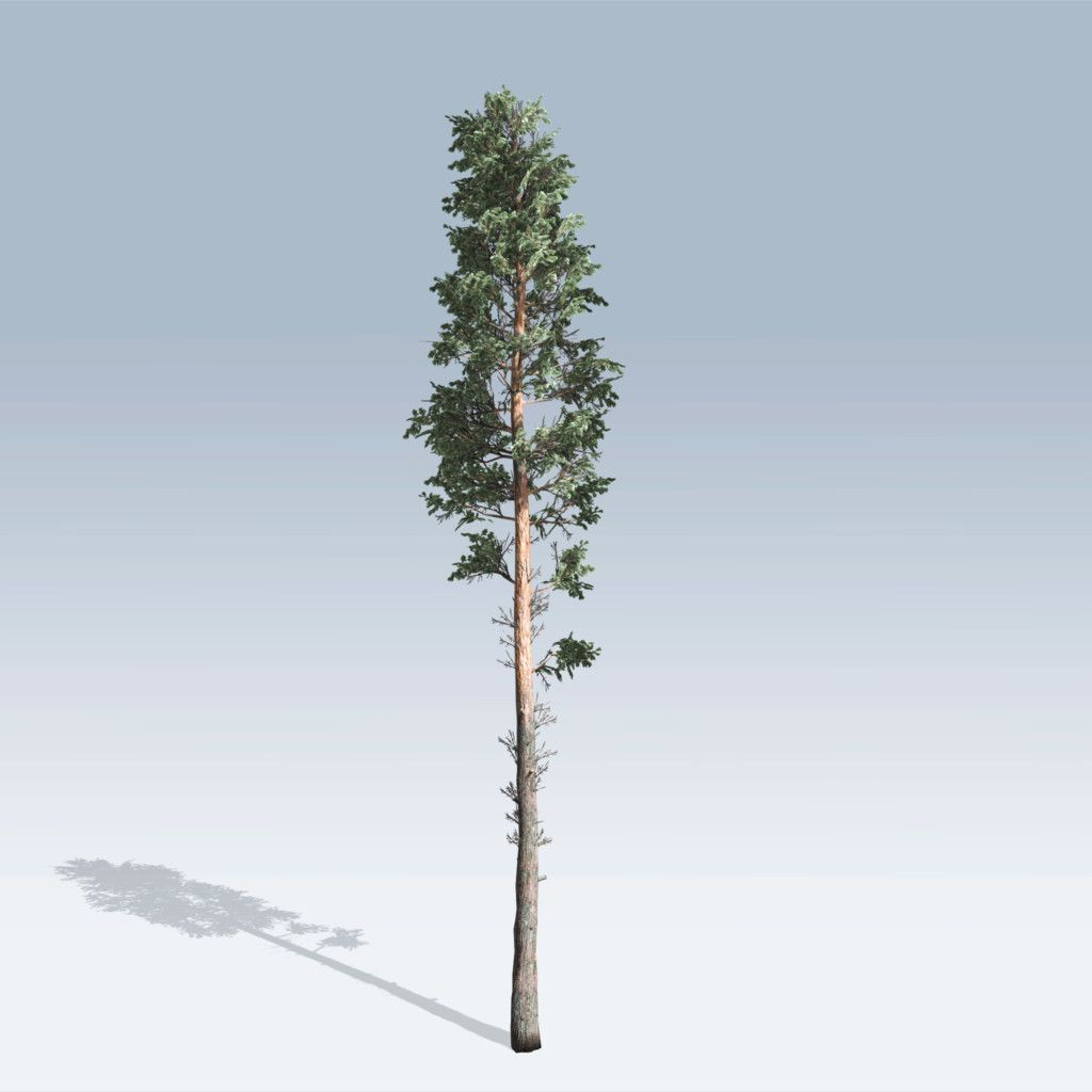 Https Store Speedtree Com Product Scots Pine V6 Pine Branch Outdoor Plants